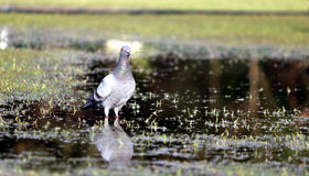 Pigeon on water. A pigeon looking for its prey on shallow water Royalty Free Stock Photography