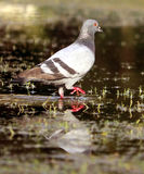 Pigeon on water Stock Photos