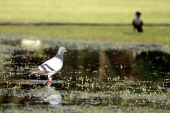 Pigeon on water. A pigeon looking for its prey on shallow water Stock Photography