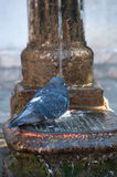 Pigeon on a water-pump Royalty Free Stock Photos