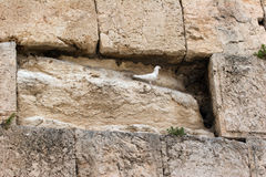Pigeon on the Western Wall Stock Image