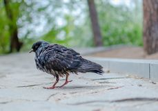 Pigeon with wet feathers is on the road lined with stones royalty free stock photo