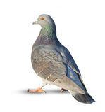 Pigeon on white Stock Images
