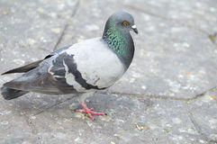 Pigeon. On white stock photo