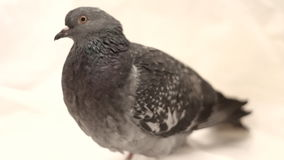 Pigeon on a white background stock video footage