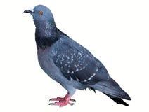 Pigeon on white background. Columba livia Stock Image