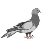 A pigeon on a white background Stock Image