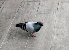 Pigeon in white and black Royalty Free Stock Image