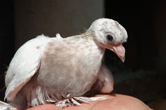 Pigeon white nestling domestic Royalty Free Stock Photos