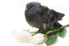 Pigeon and white roses isolated  on white. Three white roses and large pigeon on white background Stock Photo