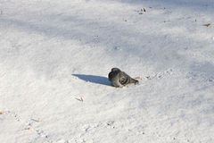 Pigeon on the white snow basking in the sun Royalty Free Stock Photography