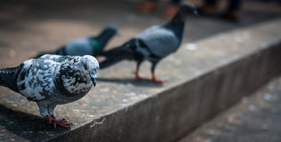 Pigeon. White pigeon in temple, thailand royalty free stock images