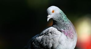 Pigeon wide view stock image