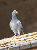 Pigeon in Window Frame Stock Photos