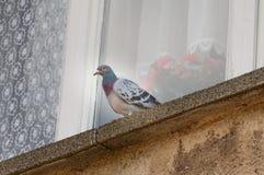 Pigeon on windowsill royalty free stock photos