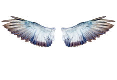 Pigeon wings isolated on white Royalty Free Stock Images