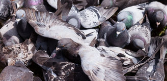 Pigeon with Wings Outstretched in the Middle of a Crowd Feeding Stock Images