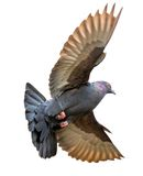 Pigeon with wings raised Stock Images