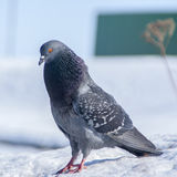 Pigeon in winter Royalty Free Stock Photos