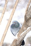 Pigeon in winter forest Stock Image