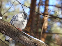 Pigeon in winter park Royalty Free Stock Photo