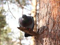 Pigeon in winter park Stock Image