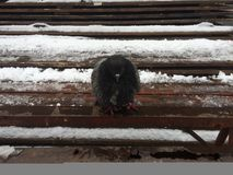 Pigeon in the winter royalty free stock images