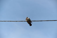 Pigeon on Wire Royalty Free Stock Image