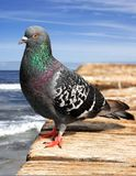 Pigeon on wooden pier Royalty Free Stock Photography