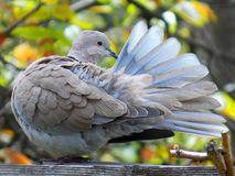 Pigeon. On a wooden plank clean feathers Royalty Free Stock Photo
