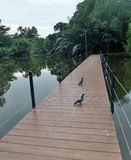 Pigeon on wooden walking passage through green lake in the park Royalty Free Stock Images