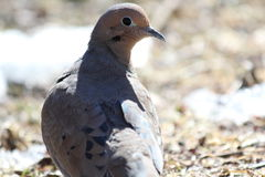 Mourning Dove in The Woods Stock Image