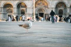 Pigeone se tenant sur une rue photo libre de droits