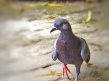 Pigeons Lizenzfreies Stockbild