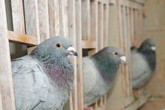 Pigeons à l'intérieur de colombier Photo stock