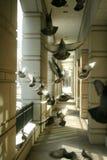 Pigeons à la lumière du soleil Images libres de droits
