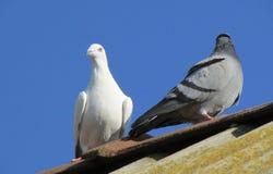 Pigeons ? la maison sur le toit photo stock