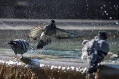 Pigeons éclaboussant dans une fontaine à Barcelone Photographie stock libre de droits