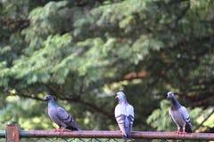Pigeons étés perché sur une barrière Photos libres de droits