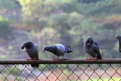 Pigeons étés perché sur une barrière Images stock
