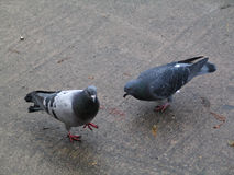 Pigeons. Two pigeons wandering around on the sidewalk in search for food stock photography