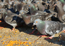 Pigeons. Gray pigeons in the square Royalty Free Stock Photography