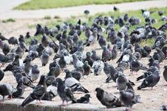 Pigeons. Image libre de droits