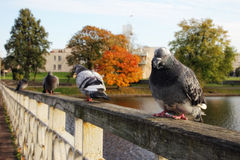 Pigeons. Sitting on a fencing of the bridge through a city pond Royalty Free Stock Photos