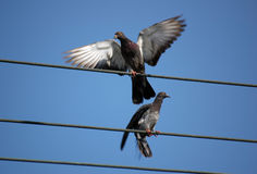 Pigeons Images stock