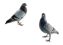 Pigeons Stock Images