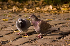 Pigeons. Two pigeons caught on a river bank near Prague Royalty Free Stock Images