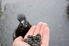 Pigeons Royalty Free Stock Photos