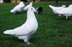 Pigeons. A group of pigeons walking on green grass Stock Photos