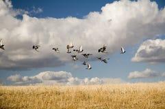 Free Pigeons Stock Image - 1884821